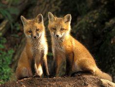Raposa Animal do poder Símbolo de camuflagem, da astucia, pensamento rápido e agilidade magica. A