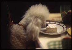 Parisian poodles love camembert