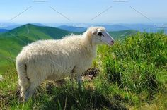Sheep Photos Flock of sheep in a mountain valley by byrdyak