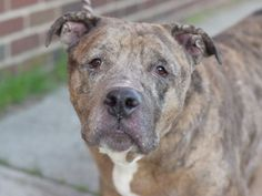 GONE 4/25/15   TBD 4/25/15 Urgent NH ONLY Brooklyn Center  My name is ROCKY. My Animal ID # is A1033801. I am a neutered male br brindle pit bull mix. The shelter thinks I am about 7 YEARS old.  I came in the shelter as a OWNER SUR on 04/20/2015 from NY 11236, owner surrender reason stated was PET HEALTH.  Posted in:Featured|Rescue Only|To Be Destroyed Posted in:Gone Dogs April 2015