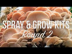 Our Spray and Grow Kits indoor mushrooms kits are an easy and convenient way to start growing mushrooms. After they're done fruiting on your kitchen counter, there are a few ways you can reuse your kit and keep on growing! Sometimes a little fresh air is all that a kit needs to be revitalized. Here is what you can do with your grow kit after you've grown mushrooms indoors. Mushroom Kits, Growing Mushrooms, Round Two, Grow Kit, What You Can Do, Reuse, Counter, Stuffed Mushrooms, Indoor