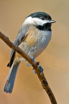 Carolina Chickadee - Brian E Kushner - Slightly smaller than its northern cousin the Black Capped Chickadee