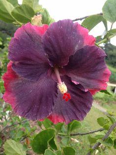"""Hibiscus """"My Blue Pearl"""" Linda Lee Hibiscus Bush, Hibiscus Rosa Sinensis, Hibiscus Plant, Hibiscus Flowers, Tropical Flowers, Unusual Flowers, Rare Flowers, Amazing Flowers, Beautiful Flowers"""