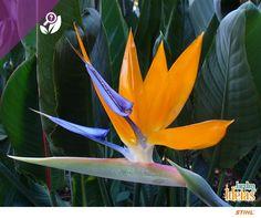A estrelícia recebeu este nome em homenagem à Carlota de Mecklemburgo-Strelitz, esposa do Rei da Inglaterra, George III. Essa flor adora luminosidade e ambientes com climas quentes. Ela floresce durante o ano inteiro e chama atenção por suas cores vivas. O seu significado é elegância, exuberância e excentricidade.