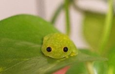ପ੭j♡celyn੭ଓ в Твиттере: «don't want to be a girl.just a tiny glass frog sitting on a leaf Cute Reptiles, Reptiles And Amphibians, Cute Little Animals, Cute Funny Animals, Pet Frogs, Frog Pictures, Glass Frog, Frog Art, Frog And Toad