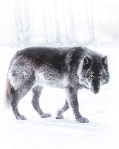 Respect the Wolf Wolf Photos, Wolf Pictures, Animal Pictures, Beautiful Wolves, Beautiful Dogs, Animals Beautiful, Wolf With Blue Eyes, Animals And Pets, Cute Animals
