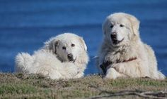 The maremma dogs that act as guardians to a colony of 150 penguins in Warrnambool, Victoria.