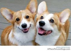Corgi cuteness!  I soooo want one but don't know what my cats would think.