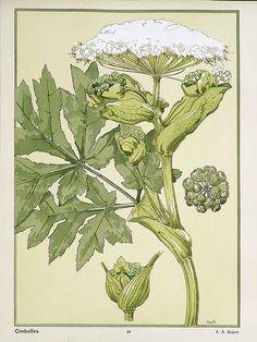 """Seguy, Eugène A.    French  """"Les Fleurs"""" Paris, c.1901  """"Ombelles"""" Plate number 22  Pochoir and lithograph"""