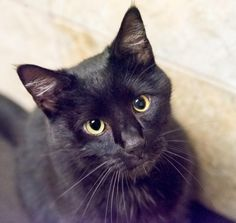 Meet Kibi, an adoptable American Shorthair looking for a forever home. If you're looking for a new pet to adopt or want information on how to get involved with adoptable pets, Petfinder.com is a great resource.