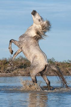 ☀Camargue horse stallion rising on his rear legs in the water, Bouches du Rhône, France