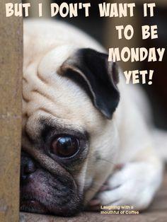 Monday Again, Cute Pugs, Mondays, Animals, Animales, Animaux, Animal, Animais