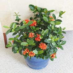 Ixora. Its big clusters of orange, pink, red, or yellow flowers are wonderful…