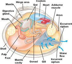 Biology 10: Complex Invertebrates - Topic 11a: Molluscs