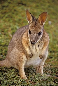 Wallaby animals can be found in Australian wilds or on conservation farms. These species of marsupials are found in Australia and resemble small- to medium-sized kangaroos. They can be found in various habitats, from rocky areas, forests, swamps, to grasslands. Their fur is soft and wooly and dark in color; the belly is lighter.