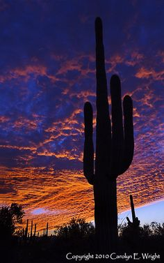 saguaro My neighbor has one this size in her backyard, about fifty feet away. This is May and it is blooming with large white waxy blossoms. Desert Dream, Desert Life, Desert Sunset, Cactus, Science And Nature, Cool Pictures, Beautiful Pictures, Beautiful Landscapes, Travel Usa