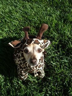 Your very own mini giraffe for Spooky Day! Giraffe Dog Pet Costume ALL SIZES AVAILABLE. $45.00, via Etsy.