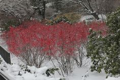 'Winter Red' -- Winterberry