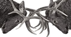 une-cerfs-combat