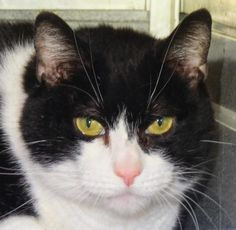 "GUY ""5-549 Guy"" - located at TOWN OF BABYLON ANIMAL SHELTER in West Babylon, NY - AT SHELTER SINCE 12/17/2015 - 8 year old Neutered Male Domestic SH - Surrendered to us by a family member of his deceased owner. He is shy around the business of the shelter but he feels much more confident and secure when one on one. Guy is neutered, vaccinated and current on parasite prevention. He is Felv/FIV negative and microchipped."