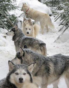 bunch of huskies