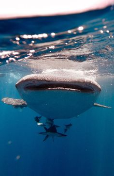 NINGALOO REEF's famous whale sharks have arrived early this year.