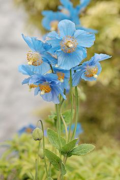 Meconopsis grandis, known as the blue poppy, does not produce opium.