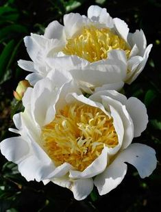 'Moon Of Nippon' peony. Their beautiful, big, yellow centers are to die for.