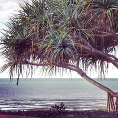 Pandanus Tree..