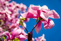 Magnolie auf der Blumeninsel Mainau