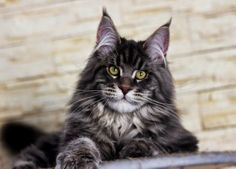 Mountain Fork Maine Coon Kittens, Imported European bloodlines ... http://www.mainecoonguide.com/male-vs-female-maine-coons/