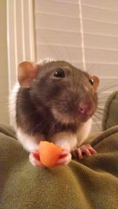 """* * THOUGH RATTIES ARE SMALL, INSIGNIFICANT THINGS; THEIR SPIRITS ARE HUGE WITH MAGNIFICENT WINGS."""""""