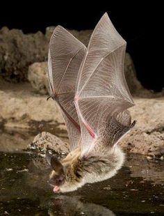 AMAZING BAT PHOTOS   Uploaded to Pinterest