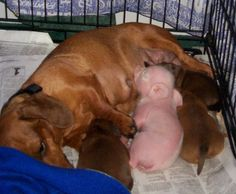 Cute dog pics - The Dachshund and Pink the Pig. This Dachshund is fostering this little pig for another mom who couldn't take care of him. I Love Dogs, Puppy Love, Cute Dogs, Baby Animals, Funny Animals, Cute Animals, Animal Babies, Baby Piglets, Especie Animal