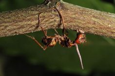 Right out of a science fiction horror story, comes a real-life parasite, in the form of a fungus. The Zombie ant fungi invades and manipulates the behavior of a host ant's brain through a mixture of behavior governing chemicals.