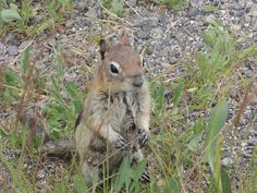 Chipmunk - Yellowstone NP - USA - 2014