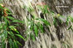 The rainforests of Borneo & Southeast Asia: Bucephalandra from Sebauh sandstone stream