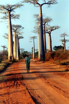 avenue des baobabs, madagascar.