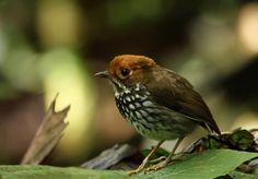 Peruvian Antpitta (Grallaricula peruviana)