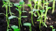 Pěstování celeru   Prima nápady Plants, Plant, Planets