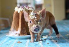 Cute Baby Pigs, Cute Piglets, Baby Piglets, Baby Animals, Funny Animals, Cute Animals, This Little Piggy, Little Pigs, 1366x768 Wallpaper