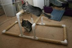"Building uneven bars and other fun ""gymnastics equipment"" for chinchillas Chinchillas, Hamsters, Rodents, Gerbil, Diy Chinchilla Toys, Cage Chinchilla, Animals And Pets, Cute Animals, Pocket Pet"