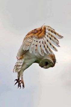 Barn Owl swooping in ... photo by  Kenneth Nelson Barnes