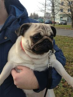 I see a squirrel! Put me down!!! #pugs