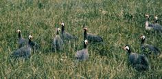 How to raise guinea fowl, includes basics on types of guinea, fowl enclosures, sex of fowl, egg laying and raising guinea young. Originally published as