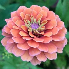 I'm loving the colors of some of my new zinnias, they are breathtaking. Botanical Flowers, Tropical Flowers, Fresh Flowers, Beautiful Flowers, Indoor Flowers, Cut Flowers, Purple Flowers, Deer Resistant Annuals, Flowers For Valentines Day