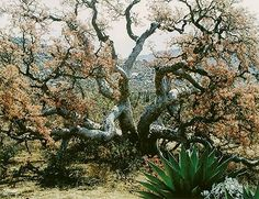 Elephant Tree, El Marmolito, Baja California Sur, Mexico, August 6, 1966
