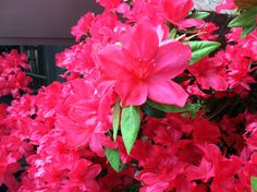 North Carolina spring flowers! In love with all the pink azaleas!