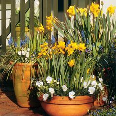 Daffodils & Grape Hyacinth - Planting spring bulbs in containers allows you to display them while in bloom... When they finish blooming they can be moved out of view to wait for next years display...