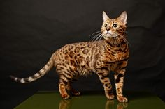 Bengal Cat   Cat Breed history and some interesting facts